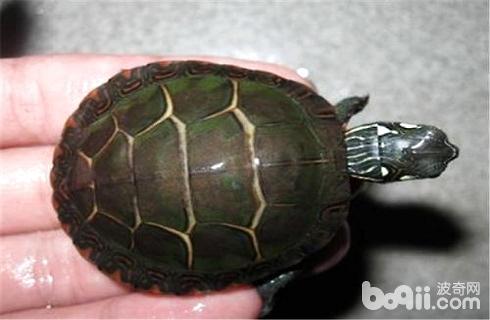 市面上最常见的乌龟