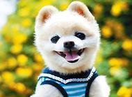 俊介狗狗多少钱一只?俊介犬价格