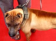 如何训练狗狗室外找东西?