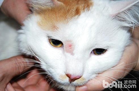 猫的皮肤病有哪些?