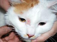 猫的皮肤病有哪些?猫皮肤病怎么治疗?