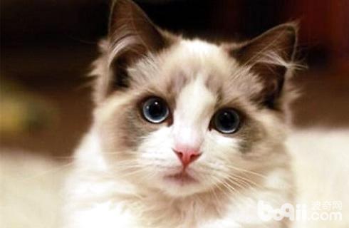 布偶猫怎么训练?