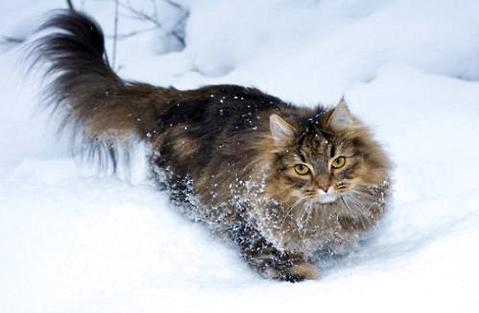 最大的猫是什么品种?