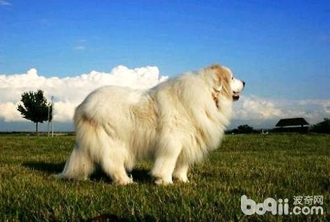 宠物狗品种大全