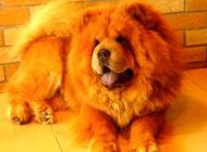 松狮犬是大型犬吗?