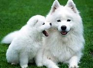 你还在把银狐犬叫成萨摩耶吗?