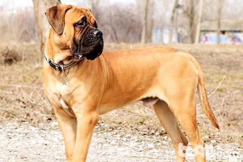 马士提夫犬
