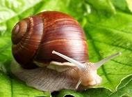 白玉蜗牛怎么养?白玉蜗牛养殖