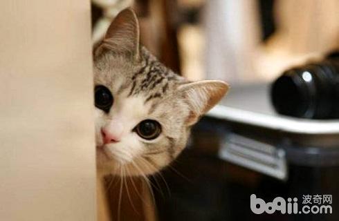 猫除了猫粮还能吃什么