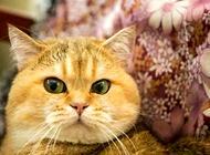 金渐层猫一般多少钱?金渐层猫价格盘点