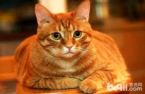怎么帮猫减肥