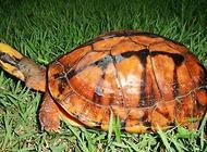 金钱龟怎么养?金钱龟养殖