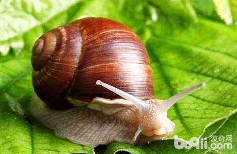 白玉蜗牛.jpg