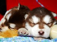 怎么知道狗狗是不是得了犬瘟?