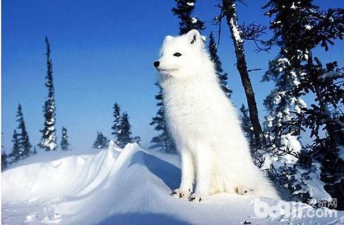 白狐狸.jpg