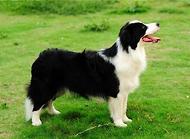 边境牧羊犬怎么训练?边境牧羊犬训练技巧