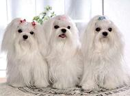 狗狗传染性气管炎感染性支气管炎的治疗