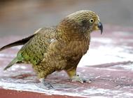 新西兰啄羊鹦鹉怎么养?啄羊鹦鹉介绍