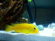 王子鱼吃什么?王子鱼饲养方法