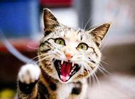 猫什么情况会得狂犬病?猫狂犬病症状