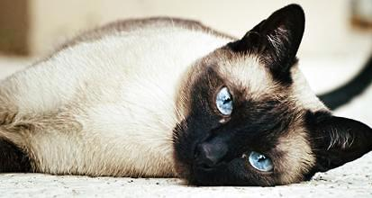 爪哇猫多少钱一只