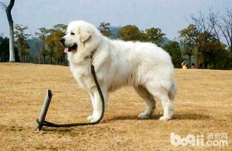 大白熊犬为什么被禁养
