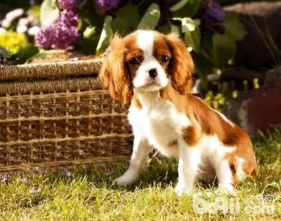 查理士王小猎犬好养吗