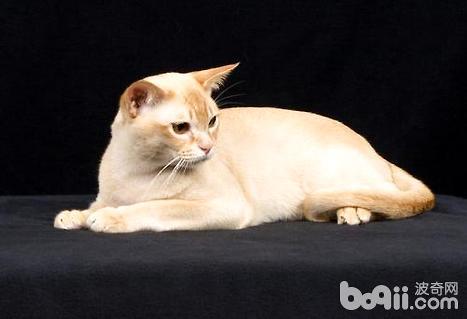 缅甸猫能长多大