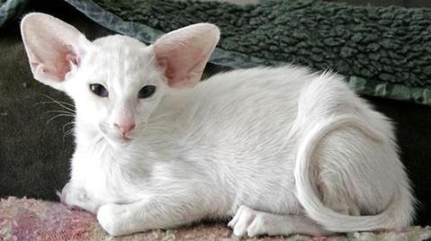 东方猫好养吗