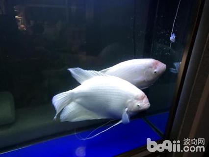 招财鱼突然不进食怎么办
