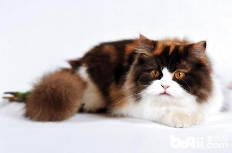 波米拉猫多少钱一只
