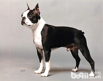 波士顿梗犬好养吗