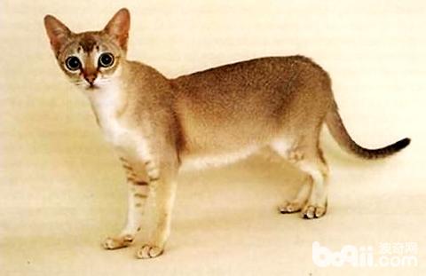 新加坡猫多少钱一只