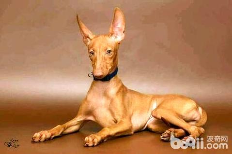 世界猎犬十大排名