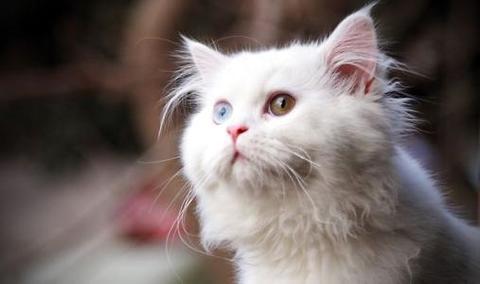 为什么不能买蓝眼白猫