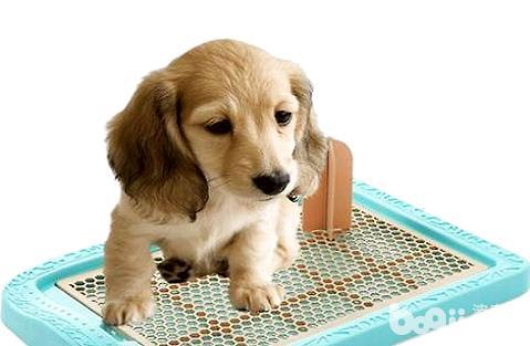 怎么教狗狗大小便