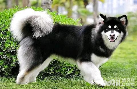 阿拉斯加犬如何训练