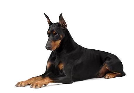 杜宾犬吃什么狗粮好