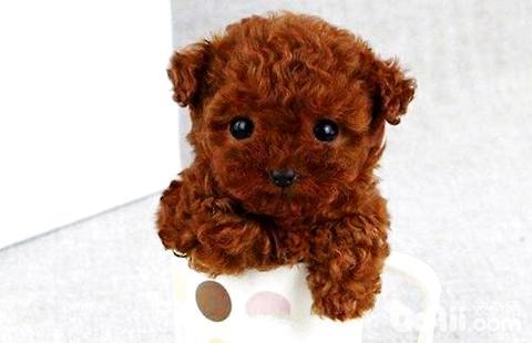 泰迪茶杯犬能长多大