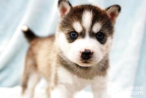 哈士奇幼犬怎么选