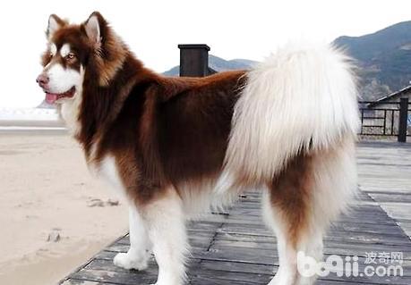 大型犬品种_阿拉斯加大型犬多少钱?巨型阿拉斯加犬价格|狗狗品种-波奇网 ...