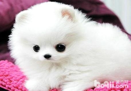 博美犬美容