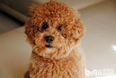 泰迪犬叫什么名字好