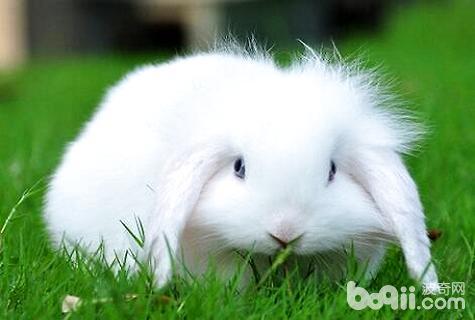 垂耳兔价格
