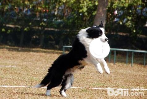 怎么训练狗狗接飞盘