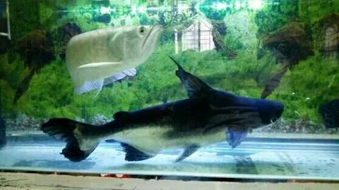 成吉思汗鱼好养吗