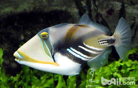 鸳鸯炮弹鱼好养吗