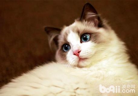 养布偶猫最忌讳什么