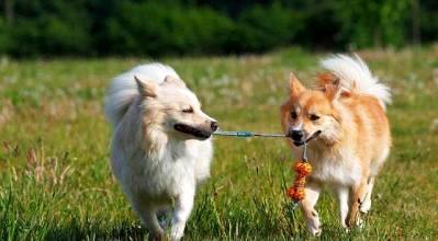 长得像狐狸的小型狗
