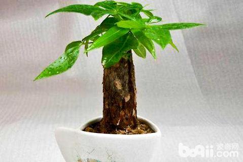 发财树怎么养才长得好